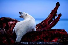 A large polar bear scavenging a meal from the carcass of a bowhead whale in the Arctic National Wildlife Refuge Alaska. Lion Africa, Sea Ice, Into The West, His Dark Materials, Hunting Season, National Geographic, Mammals, Alaska, Creatures