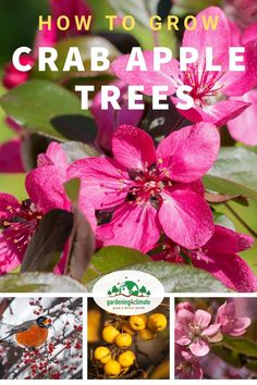 Crab Apple Trees are beautiful ornamental trees that can be used in a permaculture garden. The little apples can be used for jellies or can be left as a food source for birds and other wildlife. Learn here how to grow these beautiful trees in your garden! Fruit Garden, Edible Garden, Flower Gardening, Gardening Tips, Fruit Flowers, Fruit Trees, Garden Pictures, Apple Tree, Growing Vegetables
