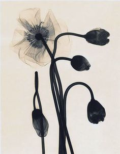 I am in need of some pretty flowers this time of the year. These photos are x-ray art by Judith K McMillan. Art Floral, Art Actuel, Botanical Prints, Pretty Flowers, Simply Beautiful, Flower Art, Xray Flower, Poppies, Art Photography