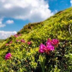 Muntele Rosu/Red Peony Mountain Visit Romania, Red Peonies, Peony, Mountain, Journey, Plants, Peonies, The Journey, Plant
