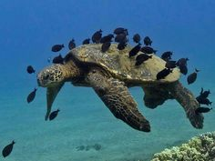 sea turtle being groomed by fish Underwater Sea, Underwater Creatures, Ocean Creatures, Under The Ocean, Sea And Ocean, Animals Beautiful, Cute Animals, Beautiful Creatures, Turtle Love
