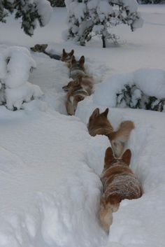 Winter Snow: Pembroke Welsh Corgis in it up to their ears.I can't wait until I move to a ranch where we can get snow and I finally adopt a corgi. There will be little corgi snow paths everywhere! Beautiful Creatures, Animals Beautiful, Beautiful Wolves, Animals And Pets, Cute Animals, Wild Animals, Tier Fotos, Wild Dogs, Mundo Animal