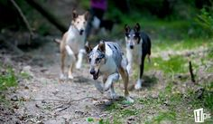 My smooth collie