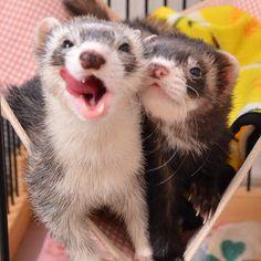 Two cute #ferrets!-- who doesn't love ferrets!!