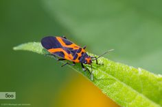 A False Milkweed Bug (Lygaeus turcicus) I foud and photographed not far from home in the 1000 Islands Region, Ontario, Canada.   © 2015 Monique van Someren * all rights reserved * please do not use without permission