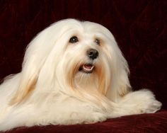 The Havanese is really a sturdy small dog, low on his legs, with extended abundant hair, soft and preferably wavy. His movement is lively and elastic.