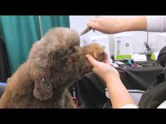 Pinned from Groomer TV. Poodle Doodle Head demonstration.