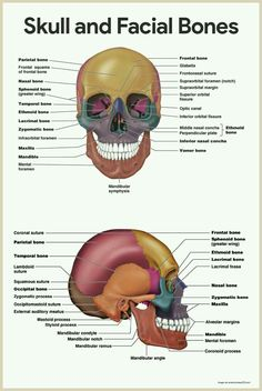Skull and Facial Bones-Skeletal System Anatomy and Physiology for Nurses Human Body Anatomy, Human Anatomy And Physiology, Facial Anatomy, Facial Bones, Anatomy Bones, Nursing School Notes, Medical School, Nursing Graduation, Nursing Schools
