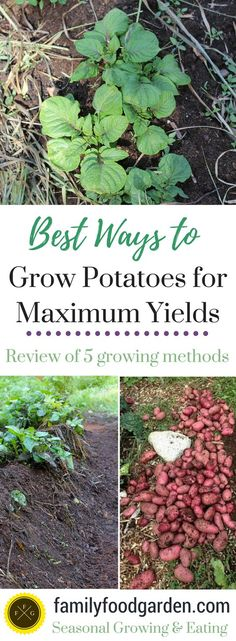Best production seems to be hilling up the plants as they grow Increases amount of stems for tubers Use good soil Need plenty of water Think about adding pavers or someth. Home Vegetable Garden, Fruit Garden, Edible Garden, Garden Plants, Farm Gardens, Outdoor Gardens, Veggie Gardens, Gardening For Beginners, Gardening Tips