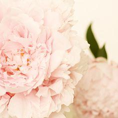 Pink Peony No.2 by kimberlyblok1, via Flickr