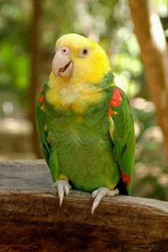 Photo: The yellow-headed amazon (Amazona oratrix), also known as the yellow-headed parrot and double yellow-headed amazon, is an endangered amazon parrot of Mexico and northern Central America.  Measuring 38–43 centimetres (15–17 in) in length, it is a stocky short-tailed green parrot with a yellow head. It prefers to live in mangrove forests or forests near rivers or other bodies of water. It is sometimes considered a subspecies of the yellow-crowned amazon. It is a popular pet and an…