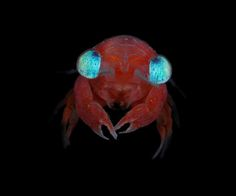 I am a little alien / A blue-eyed crab megalopa from French Polynesia
