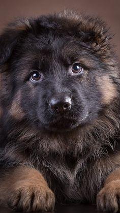 """German Shepherd Dogs - """"@juanjose_2008 Merci beaucoup Juan!���������������� Passez une belle et douce soirée!��������������������"""" Cute Funny Animals, Cute Baby Animals, Animals And Pets, Cute Baby Dogs, Cute Dogs And Puppies, Doggies, Corgi Puppies, Beautiful Dogs, Animals Beautiful"""