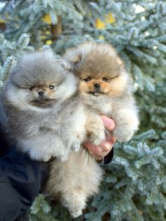 So dang cute!!! Poms with brown and grey!