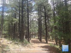 Scenic ponderosa pine forest at Fort Tuthill County Park in Flagstaff #Arizona #nature