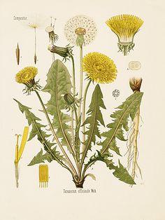 Kohler's Medizinal - Pflanzen Prints 1898 -  Dandelion, Taraxacum officinale