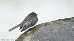mis fotos de aves: Sayornis nigricans Viudita de río Black phoebe
