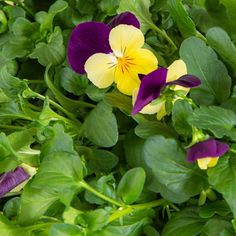 Viola Yellow Jump Flower | Plant Capsule for Smart Garden | Plantui Inside Plants, Smart Garden, Planting Flowers, Bloom, Yellow, Indoor Plants, Home Plants