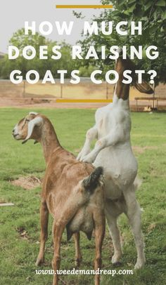How much does a Goat Cost?