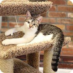 Trevose, PA - Polydactyl/Hemingway. Meet Dack, a cat for adoption. http://www.adoptapet.com/pet/17664667-trevose-pennsylvania-cat