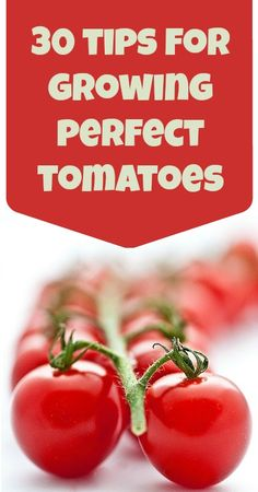 30 Tips for Growing Perfect Tomatoes