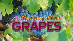 Grapes are known as 'The Queen of Fruits', and are categorized into three variants based on their color – red, green, and black/blue. This wonderful and flav. At Home Workout Plan, At Home Workouts, New Things To Learn, Cool Things To Buy, Some Love Quotes, Dog Food Recipes, Cooking Recipes, Netflix Gift, Coconut Health Benefits