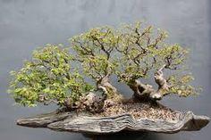 bonsai - Hledat Googlem
