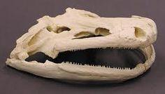 Chinese giant salamander, Andrias davidianus: skull.