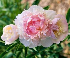 """Raspberry Sundae is one of my favorite peonies. It's currently sitting in a black plastic pot on my back porch (a.k.a. """"Ellis Island"""") waiting to get into my garden"""