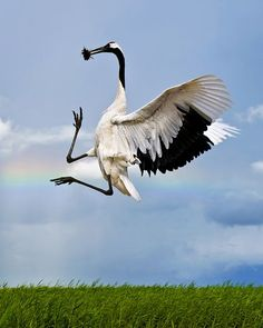 """Red-Crowned Crane    Photograph courtesy Huajin Sun via The World's Rarest Birds    Named a second place winner in the """"endangered or data-deficient"""" category, the above picture shows a red-crowned crane making a courtship display.    Though the bird's population is stable in Japan, the mainland Asian population is declining due to habitat loss and degradation of wetlands for agriculture and development, according to BirdLife International."""