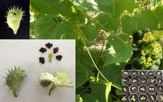 Exploding Cucumber Achocha Cyclanthera Explodens Seeds