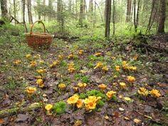 15 g frais CHANTERELLE jaune mycélium Cantharellus cibarius   Etsy Mushroom Seeds, Mushroom Spores, Mushroom Kits, Mushroom Cultivation, Wild Mushrooms, Stuffed Mushrooms, Culture Champignon, Growing Mushrooms At Home, Mushroom Pictures