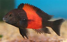 Red Banded Tropheus Moorii Cichlid