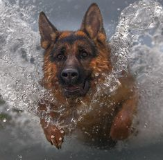 Determination - Strength - Integrity - Loyalty - Focused - The German Shepherd Dog . Big Dogs, I Love Dogs, Dogs And Puppies, Doggies, German Shepherd Pictures, German Shepherd Puppies, German Shepherds, Beautiful Dogs, Animals Beautiful
