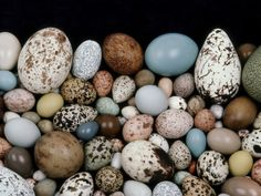 Bird Egg Diversity, Western Foundation of Vertebrate Zoology, Los Angeles, California Photographic Print by Frans Lanting at AllPosters.com