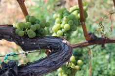 Szent György hegy #balaton #wine #hungary