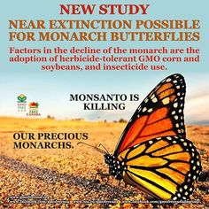 """A new study has found that the Monarch butterfly population in the U.S. has """"a substantial probability of quasi-extinction, from 11–57% over 20 years"""". A major factor in the decline of the Monarch is the adoption of herbicide-tolerant GMO corn and soybeans. Herbicide spraying, primarily glyphosate, has killed off the Monarch larvae's only food, the milkweed plant. Another threat also includes insecticide use, including neonicotinoids. Monsanto's fields of GMO corn and soy, stretching from…"""