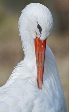 Beautiful stork... (Joel Eagle, photographer)