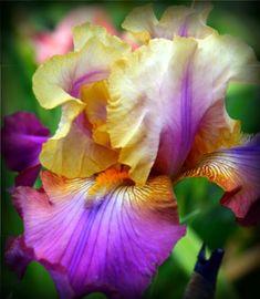 Trillion Tall Bearded Iris Rhizome Bonsai Home Decor wholesale Garden Plants - Bulbs Plants - Ideas of Bulbs Plants Home Garden Plants, Bonsai Garden, Iris Flowers, Bulb Flowers, Planting Bulbs, Planting Flowers, Iris Rhizomes, Bearded Iris, Rare Plants