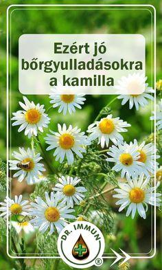 Az orvosi székfű az egyik legismertebb és legtöbb célra alkalmazott gyógynövény. A kamillafajok közül a Matricaria chamomilla gyógyhatásait tanulmányozták a legalaposabban. Nyugat-Európában az orvosi székfűnél népszerűbb a római kamilla (Chamaemelum nobile), melynek virágzata valamivel nagyobb. Health, Health Care, Salud