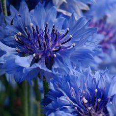 *Cornflowers (by hanna27)