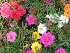 Moss Roses (portulaca) make great container plants