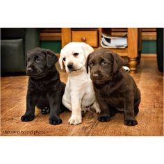 Labs :) OMG I can't wait to have one of these sweet pups!