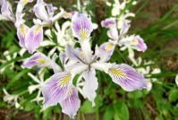 Iris Innominata The Leach Botanical Garden in Portland Oregon contains several discrete collections with a focus on the flora of Oregon. The native plant collection contains plants that occurred naturally within the borders of the state of Oregon before European settlement anchored by plants that are compatible with the climate and growing conditions of the Garden.
