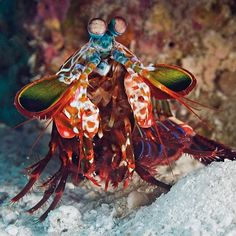 Sure Pickford's doing well but if  England wants some real fire power in goal tomorrow night they need the mantis shrimp.   This peacock mantis shrimp might only be 10cm long but with its specialised 'clubs' it can punch through water with enough force to cause a series of tiny explosions.   There might be a few issues though - some species use their sharp forelimbs to stab prey and we're not sure what rules FIFA has in place for punctured balls.   Getty…