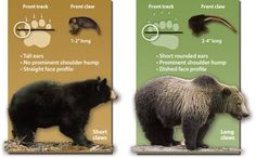 Know your bears ~ How black bears and grizzlies differ.