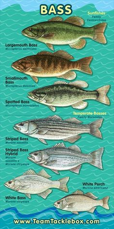 Not sure what type of Bass you have on the line? #fishing #outdoors