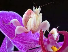 Praying Mantis: The praying mantis