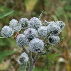 #filzklette Dandelion, Flowers, Plants, Dandelions, Plant, Taraxacum Officinale, Royal Icing Flowers, Flower, Florals