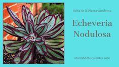 Echeveria Nodulosa - Fichas de Plantas Suculentas Cactus Y Suculentas, Air Plants, Succulents, Garden Ideas, Gardening, Patio, Cactus Names, Names Of Succulents, Gardens